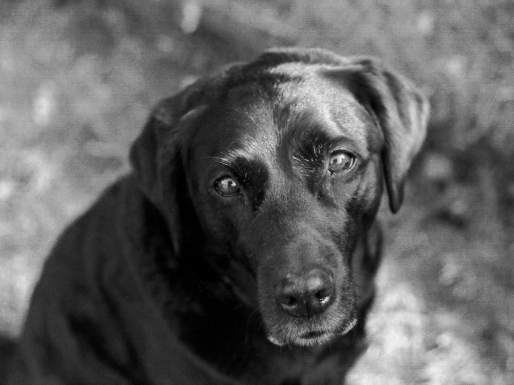 mournful black dog