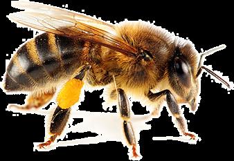 Honey Bee - female
