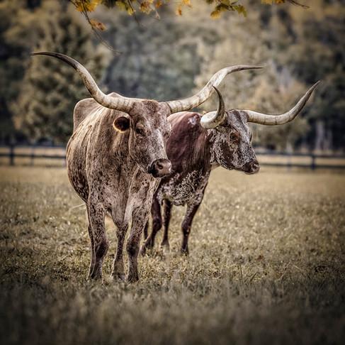 _Longhorns1x72.jpg