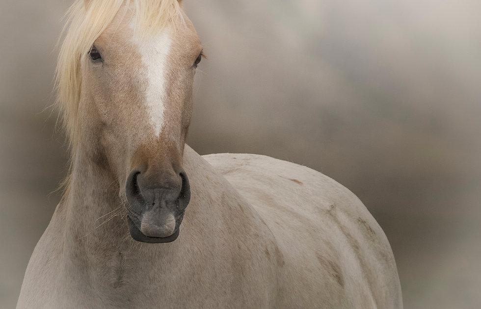 Palomino wild horse photograph