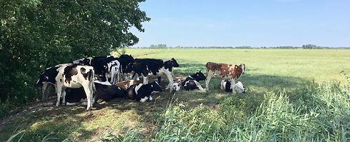 Koeien Stitswerd 3 foto Liesbeth Bunnik