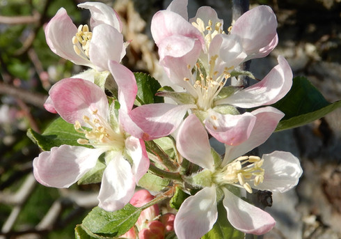 Blue Jay Orchards - Blossoms