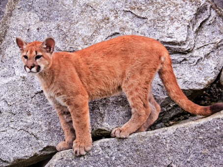 Help Protect Oregon Cougars