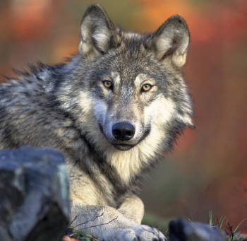 Still Time To Weigh In On Wolves