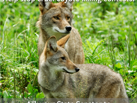 Still Time to Comment on Coyote Killing Contests