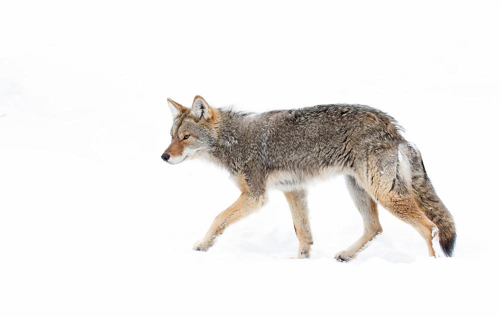 Coyote killing contest near Burns, Oregon. Photo courtesy of Humane Society of the United States