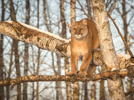 Commission Approves Cougar Plan
