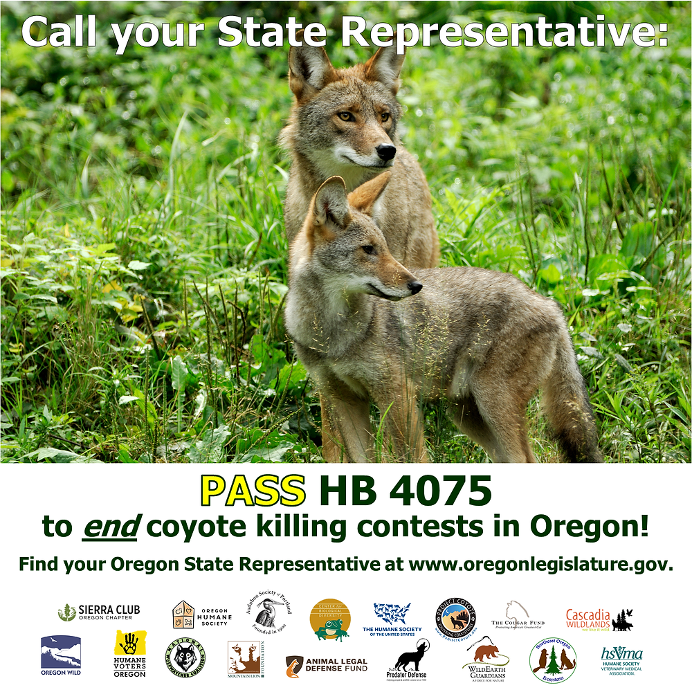 Coyote killing contest near Burns, Oregon. Photo courtesy of Humane Society of the United States