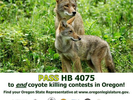 Bill to Ban Coyote-Killing Contests Passes Key Committee