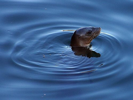 Tell Federal Agencies (by Feb. 7) to Fix Their Dams Instead of Killing Seals and Cormorants