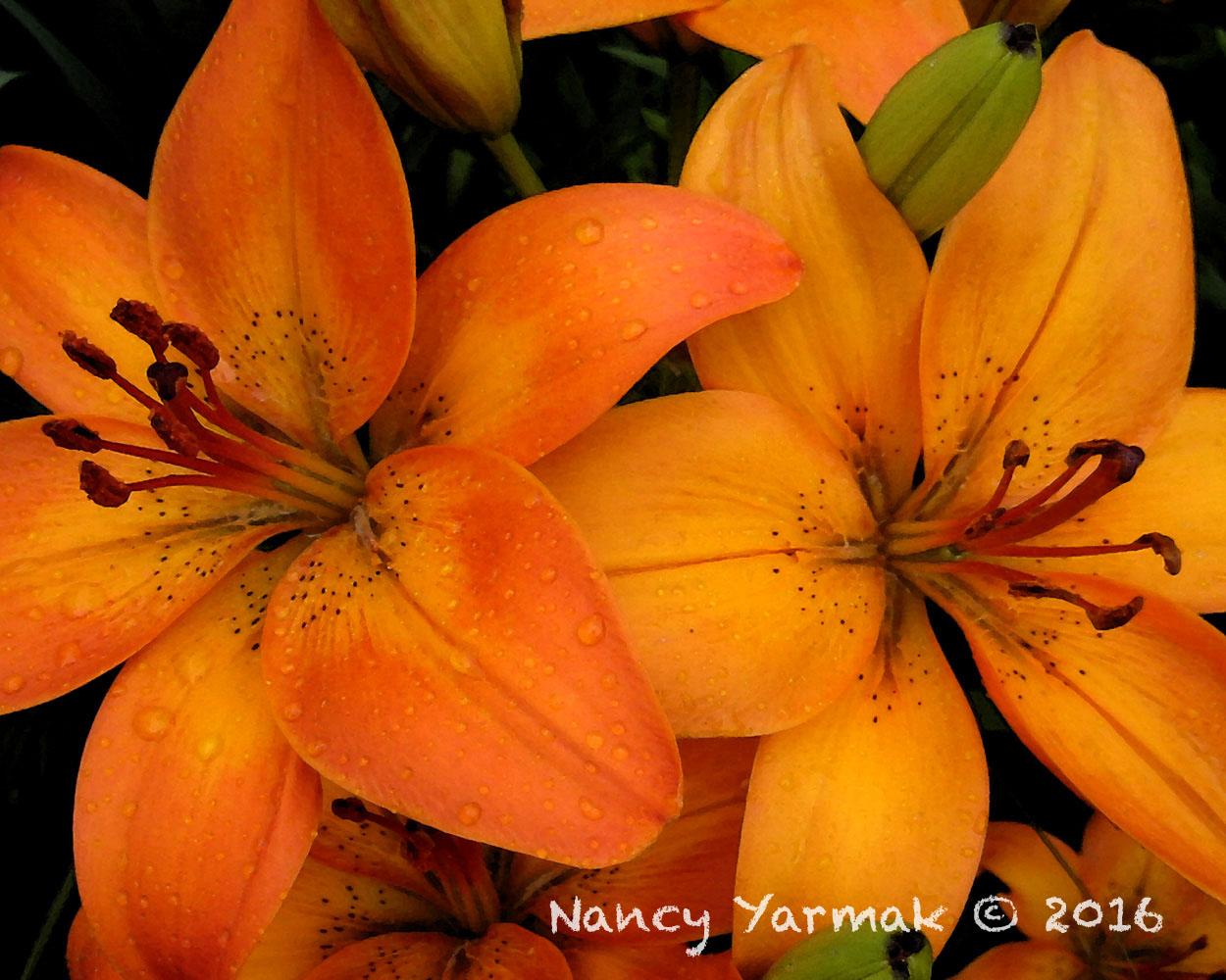 Orange Lilies-Nancy Yarmak