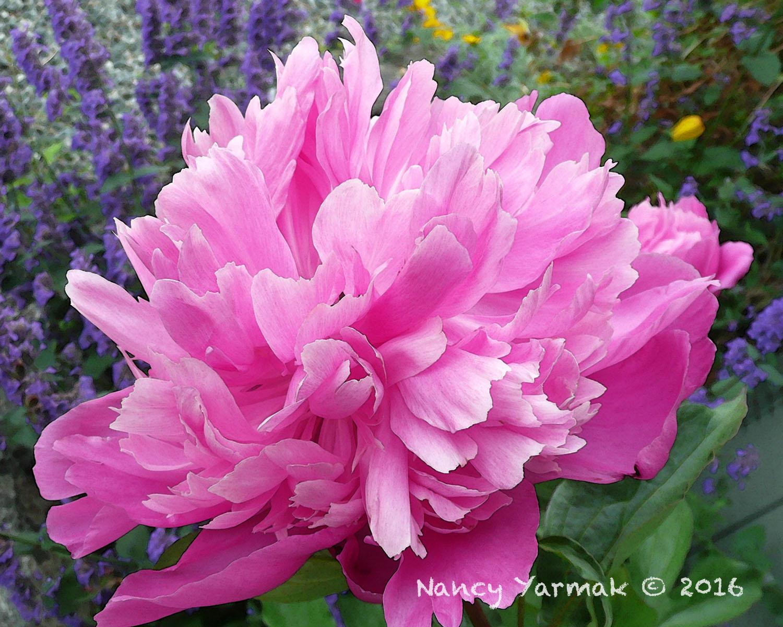Summer Passion-Nancy Yarmak