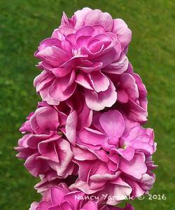Pink Stock-Nancy Yarmak