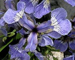 Alaskan Iris-Nancy Yarmak