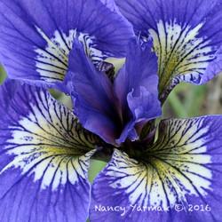 Lucky Iris-Nancy Yarmak