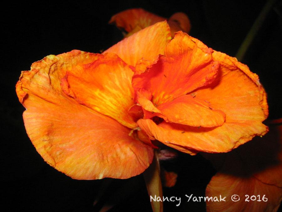 Orange Canna-Nancy Yarmak