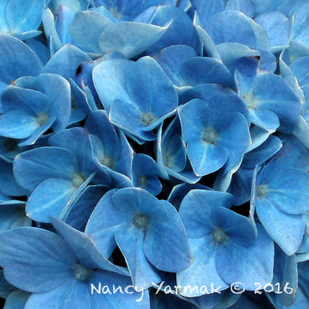 Blue Hydranga-Nancy Yarmak