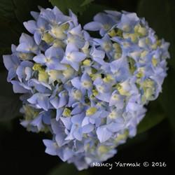 Heart Hydrangea-Nancy Yarmak