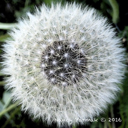 Spring Showflake-Nancy Yarmak