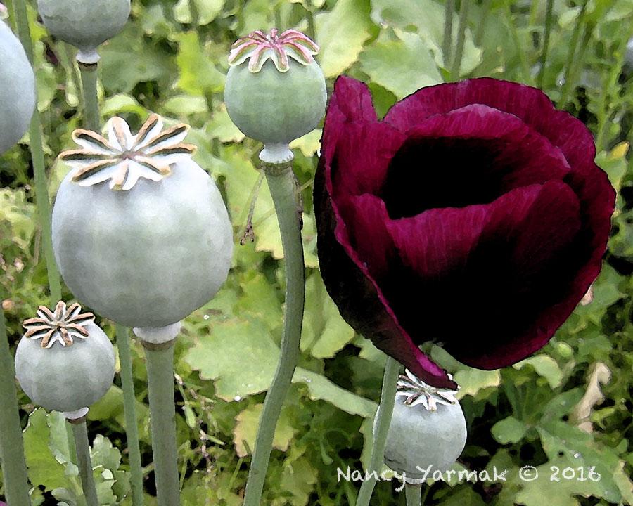 Burgandy Poppy-Nancy Yarmak