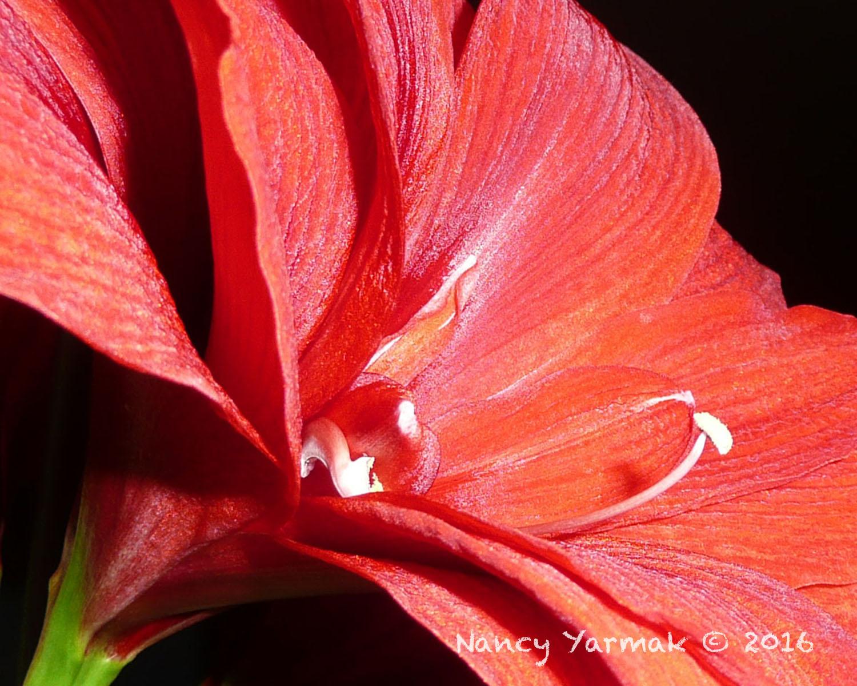 Winters Bloom-Nancy Yarmak