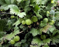 Gooseberry Pie-Nancy Yarmak