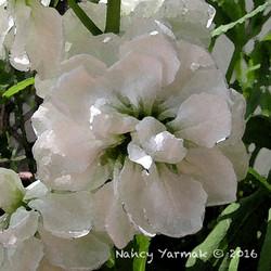 White Stock-Nancy Yarmak