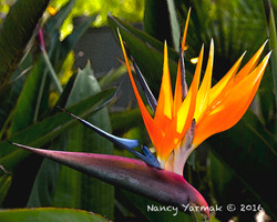 Bird Of Paradise2-Nancy Yarmak