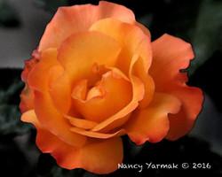 Grandma's Rose-Nancy Yarmak