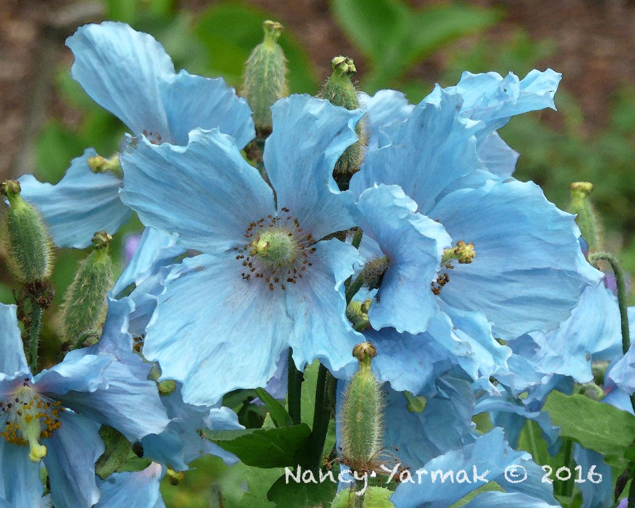 Blue Poppy-Nancy Yarmak