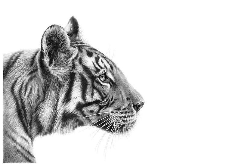 'Kai' Tiger Time (medium size print)