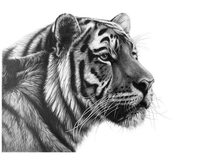 Tiger Elegance III