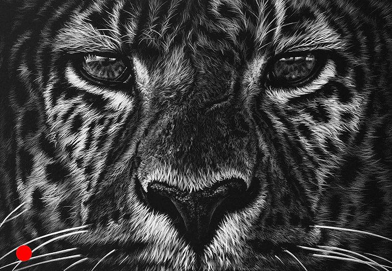 Shamwari leopard