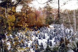 Christmas Tree plantation snow