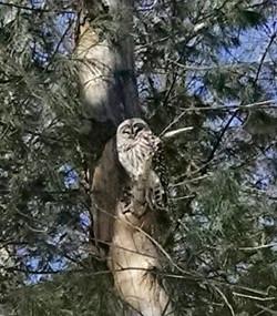 A Barred Owl Visits