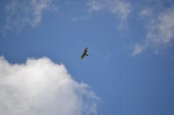 Red Tail Hawk Soars