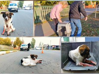 Служба захисту та лікування тварин подбала про собаку, якого збили і залишили на проїзній частині
