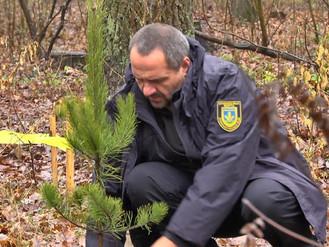 Муніципальна варта висадила покинуті ялинковим браконьєром дерева