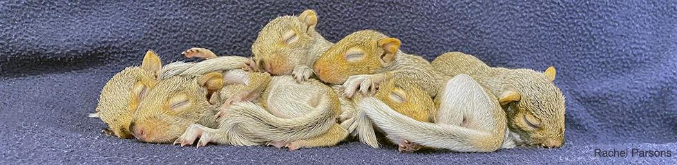 Gray Squirrels Juveniles C 3320.jpg