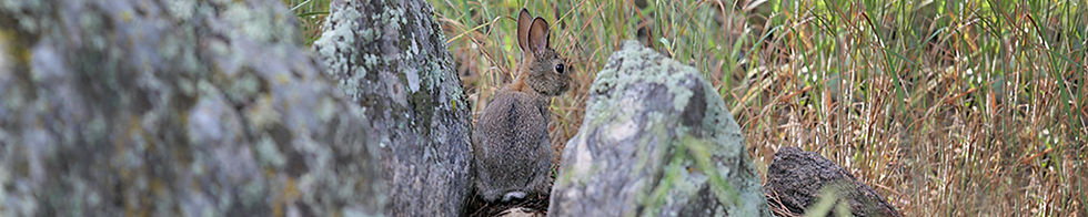 Cottontail 8720.jpg