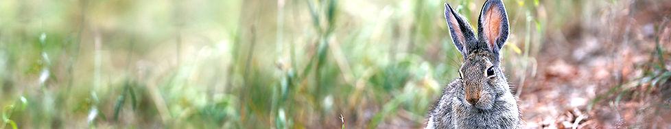 Cottontail 2253.jpg