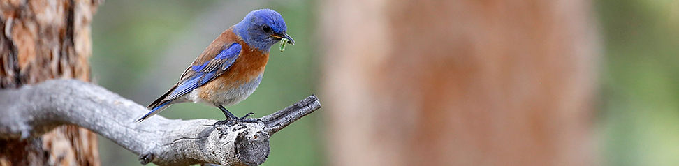 Western Blue Bird 4196.jpg