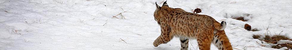 Bobcat 1496.jpg