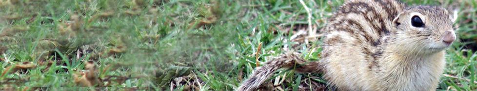 13-Lined Ground Squirrel .jpg