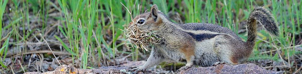 Golden Mantled Ground Squirrel Nesting M