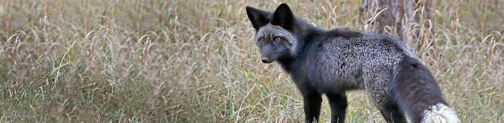 Red Fox Black Phase_MG_6934.jpg
