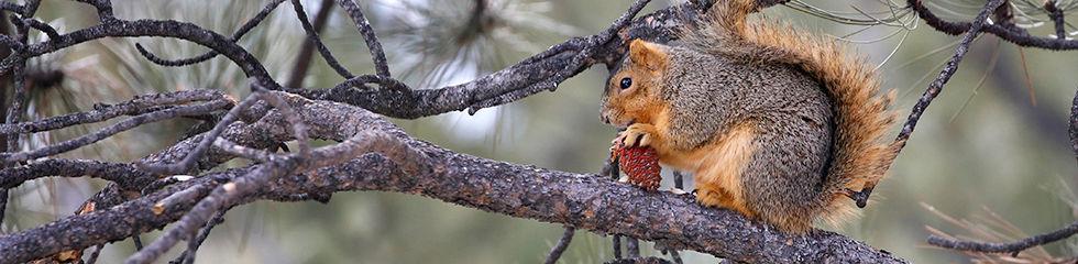 Fox Squirrel w Pine Cone MG_8554.jpg