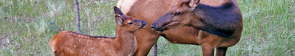 Elk and Calf 1470 2.jpg