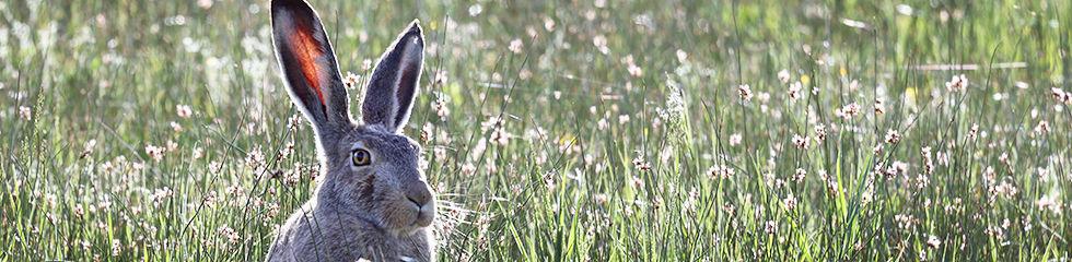 Jack Rabbit 4E6A6020.jpg