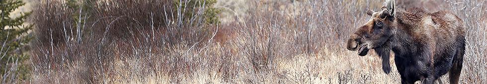 Moose 9645.jpg